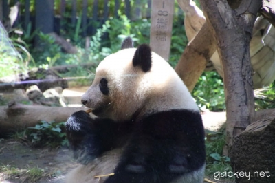 とても蒸し暑い動物園でした・・・7月のシャンシャンです。